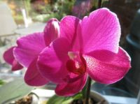 My Orchid (re-bloom)