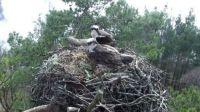 Mum & Dad Osprey