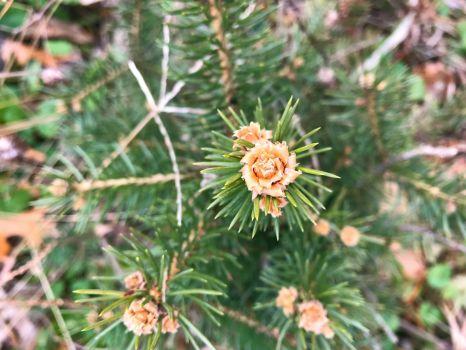 Blue_Spruce_new_growth-4032x3024