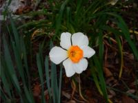My First Daffodil this Spring !