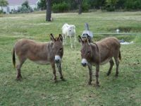 Donkeys near  Johnson Creek Tx