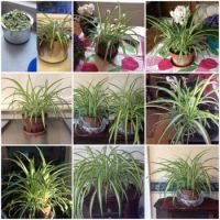 My spider plant's growth over a year's time