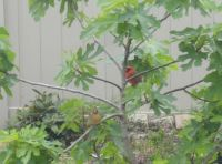 Cardinals taking a break in our fig tree.