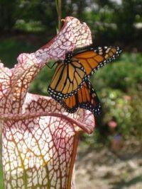 pitcher-w-monarch