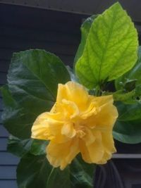 My double yellow hibiscus is happily blooming today.