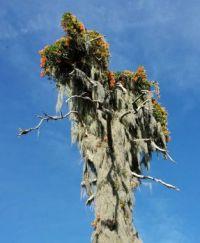 Dead Flowering Tree