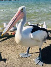 Handsome pelican
