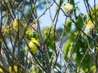 Yellow birds in our back yard
