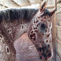 An Appaloosa of a different color