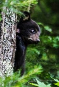 Black Bear cub, Cades Cove, Great Smoky Mountains