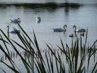Las Gallinas Ponds - Family of Mute Swans
