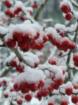 A different day for the Hawthorne berries