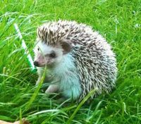 Hovis hedgehog