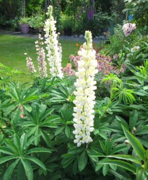 Lupins or Lupines