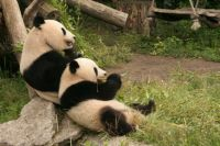 panda's in wenen