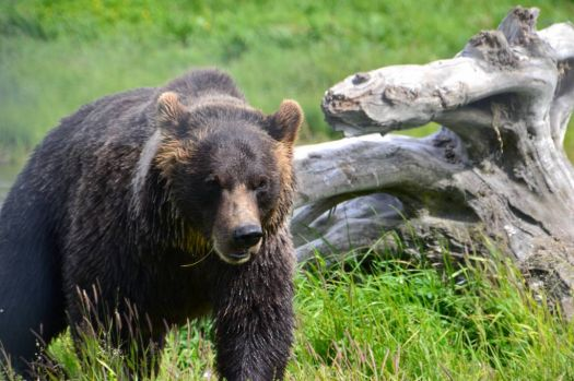 Bear seen at Alaskan Wildlife Conservation Center, Anchorage