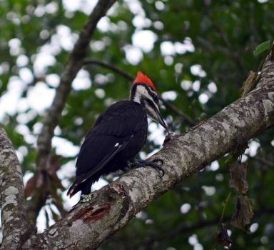 Large Woodpecker
