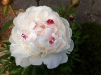 My first peony of this season
