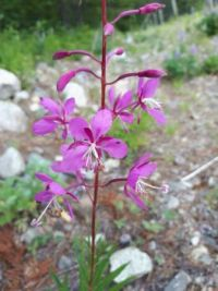 Fireweed with a tiny visitor
