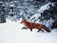 012 Vos in sneeuw