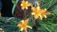 another one of my day lillies