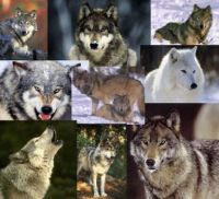 wolf collage