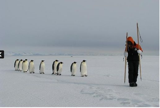 Emperor penguins following a researcher on sea ice in McMurdo Sound, Antarctica