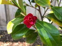 Little Slam Variegated Camellia