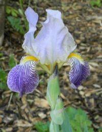 Mother's Iris
