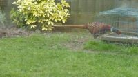Another pheasant...