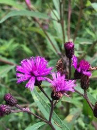 Late summer wildflower