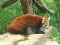 Tanganyika Red Panda