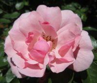 Bonica Rose... Summer 2021 bloom