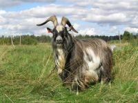 Mr goat