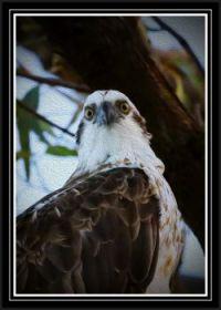 Eastern Osprey - keeing watch!