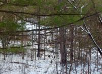 Four wild turkeys in the bush