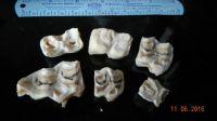 Horse's baby teeth