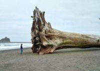 Driftwood - Sequoia tree