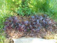 červenolistý rododendron
