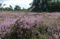 A walk on the heath / Wandeling op de heide bij Haaksbergen