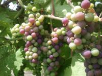 Marquette grape at veraison (onset of ripening).