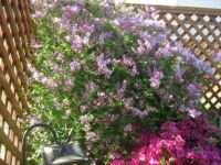 Mini Lilac and azalea