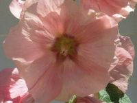 Heavenly Hollyhock