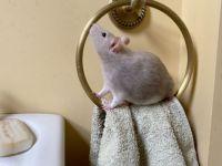 Vitruvian Rat