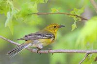 Pine Warbler by Greg Lavaty
