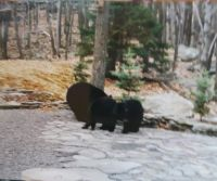 Momma Bear and her Two Cubs in our yard in Hemlock Farms Pennsylvania daily.