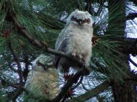 Baby Owls getting ready to leave the nest