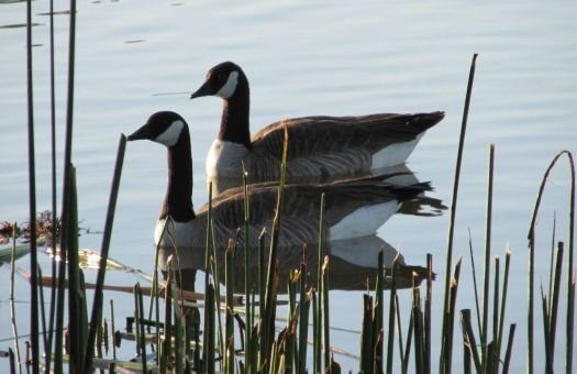 Canada Geese in the Morning