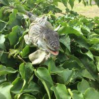 Iguana on Saint Martin