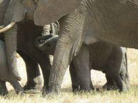 baby elephant hidden